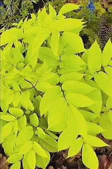 Golden Japanese Spikenard    Looking for something different for shade? An excellent complement to hostas and woodland perennials, 'Sun King' emerges mid spring with bright gold leaves held on contrasting reddish brown stems. Given a few hours sun a day, the foliage will remain yellow all summer. In shade, the foliage is chartreuse to lime green.