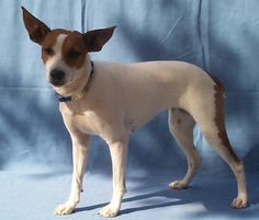 American Rat Terrier phot | Rat terrier Pictures, Rat terrier Image, animals Photo Gallery
