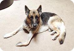 ***9/2/14 STILL LISTED***Tampa, FL - German Shepherd Dog. Meet Bruno, a dog for adoption. http://www.adoptapet.com/pet/11135071-tampa-florida-german-shepherd-dog