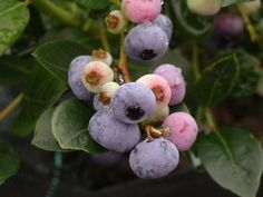 Variedad Aurora, tardia. © J. C. García. Love Job, Job Work, Summer Colors, Blueberry, Aurora, Nature, Italy, Beautiful, Food