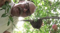 How To Capture Your Own Bee Swarm – 2 Different Methods » The Homestead Survival#.UdnnwFdsBcw