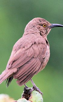 The Curve-billed Thrasher (Toxostoma curvirostre) is a perching bird of the thrasher group native to the southwestern United States and much of Mexico. http://www.herpindiego.com
