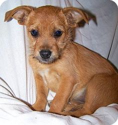 Chihuahua / wire haired terrier mix dog. Looks like my