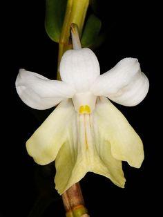 Orchid / Dendrobium uniflorum