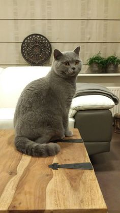 British shorthair blue beautiful cat