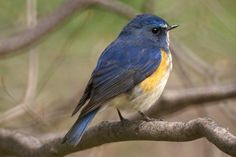 Red-flanked Bluetail (Tarsiger cyanurus), also known as the Orange-flanked Bush-robin, male