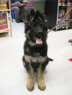 Bear, a 14-week-old long-haired German Shepherd at The Cheshire Horse in Swanzey, NH.