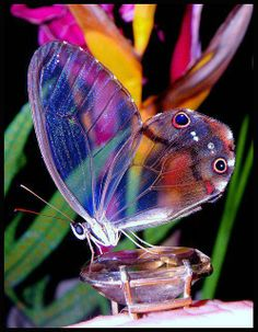 Translucent butterfly also known as the glass winged butterfly...beautiful!