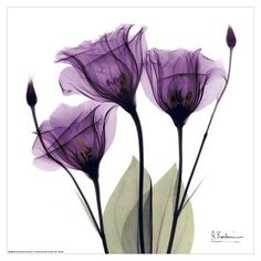 Flower plant poster of three beautiful purple Gentian flowers. Flowers are displayed against a white background. The artist is Albert Koetsier. Very nice purple Gentian flower poster art print. Framed Wall Art, Framed Art Prints, Fine Art Prints, Art Encadrée, Aquarell Tattoo, Botanical Art, Botanical Posters, Portrait Art, Belle Photo