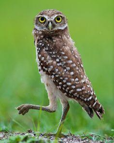 Florida Burrowing Owl (Athene cunicularia floridana) | Flickr - Photo Sharing!