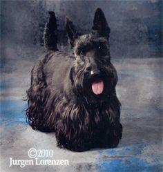 Scottie dog / Scottish terrier painting.