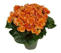 Hiemalis Begonia (Hiemalis Begonia 'Batik')