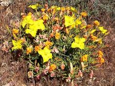 calylophus tubicula - Texas Sundrop Hardy Plants, West Texas, Pumpkin, Outdoor, Outdoors, Pumpkins, Outdoor Games, Squash, The Great Outdoors