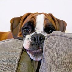Outstanding boxers detail is offered on our web pages. Read more and you wont be sorry you did. Boxer Dogs Facts, Boxer Puppies, Dog Facts, Dogs And Puppies, Puppies Tips, Boxer And Baby, Boxer Love, Boxers, Funny Boxer