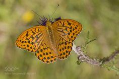 Emperor cloak butterfly -