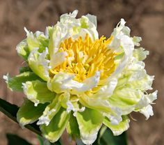 Paeonia Green Halo. Introduced in 1999, semidouble, stands out with its unusual, yet classic combination of white and chartreuse. The outermost petals, called the guard petals, have a light green base and enclose a full center of pure white petals. These beautiful blossoms measure about 4 1/2 inches across, are slightly fragrant, and have good substance. Blooms Early midseason. Stunning!!