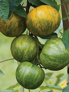 Tomato, Green Zebra Organic.  Gourmet Green-Striped Tomato  Heirloom. The relatively small (2-3 inches) fruits have good flavor and are a rich golden green at maturity, with forest green stripes - hence the name. The vines are vigorous, but not that tall; we call them semi-determinate.