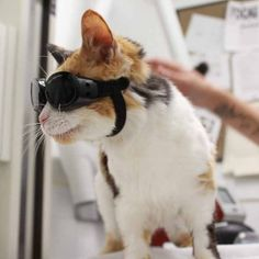 Pain Relief for Amy: Laser Therapy is for Cats, too! | Blue Cross Animal Hospital | Toronto Veterinarian. Amy is a 19 year old cat being helped with her painful hips and back by laser therapy. #pet #cute #lasertherapy