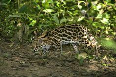 Brasil - Jaguatirica (Gato Maracajá), Amazonas.