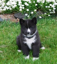 Karelian bear dog pup