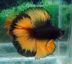 Black and Orange Male Betta ( Siamese fighting fish) Pretty Fish, Beautiful Fish, Beautiful Boys, Colorful Fish, Tropical Fish, Poisson Combatant, Beautiful Creatures, Animals Beautiful, Betta Fish Types