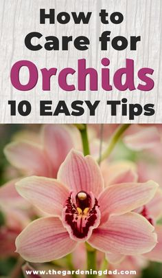 How to Care for Orchids: 10 EASY & PROVEN Tips - The Gardening Dad Orchid Care is not complicated, it is just different. Learn 10 EASY Tips to get more, better, and bigger blooms all year! Perfect for beginners and indoor orchids! Water Culture Orchids, Orchids In Water, Indoor Orchids, Orchids Garden, Blue Orchids, Purple Peonies, Flowers Garden, Yellow Roses, Purple Flowers