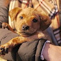 Pictures of Apollo a Labrador Retriever for adoption in Colmar, PA who needs a loving home.