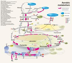 Magnífico mapa metabólico pensando en #janoclase15. Metabolic flux in aerobic conditions