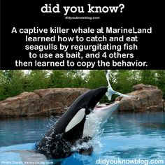 A captive killer whale at MarineLand learned how to catch and eat seagulls by regurgitating fish to use as bait, and 4 others then learned to copy the behavior. Source