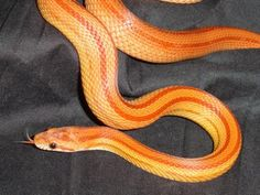 Corn snakes are about as perfect a pet as snakes can be. Rat Snake, Corn Snake, Owl Moon, Red Sparrow, Fox Spirit, Pet Care, Reptiles, Snake Skin, Baby Animals