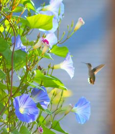 ... Pinterest | Morning glories, Blue morning glory and Morning glory vine