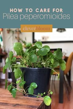 How to care for Pilea peperomioides a.k.a Chinese Money Plant, Missionary Plant, Friendship Plant and UFO plant. All the tips and tricks you need to care for this beautiful plant. Care, Propagation, and tips by Clever Bloom #pileapeperomioides #pilea #houseplants #plantcare