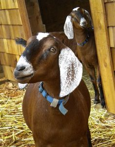 The Goat Palace is situated in the center of the nursery only a few hundred feet from our Chicken Coop. The Goat Palace is open everyday. Cute Baby Animals, Farm Animals, Nubian Goat, Happy Goat, Boer Goats, Cute Goats, Raising Goats, Goat Farming, Mundo Animal