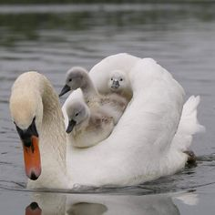 ollow for awesome bird photo ? Beautiful Swan, Beautiful Birds, Animals Beautiful, Majestic Animals, Beautiful Babies, Wildlife Photography, Animal Photography, Photography Settings, Amazing Animals