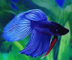Common Betta Fish Diseases - Betta Fish Care - A Betta Fish Must Read! Betta Fish Types, Betta Fish Care, Betta Aquarium, Colorful Fish, Tropical Fish, Aquascaping, Different Fish, Beta Fish, Siamese Fighting Fish