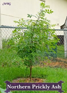The Northern Prickly Ash (Zanthoxylum americanum) is a Host Butterfly Plant for… Flowers For Butterflies, Butterfly Garden Plants, Hummingbird Plants, Butterfly Bush, Monarch Butterfly, Diy Garden Projects, Garden Ideas, How To Attract Birds, Garden Spaces
