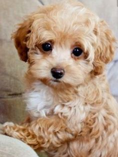 Maltipoo puppy ~ popular cross between a Maltese and Poodle, known for fun-loving and affectionate nature. Cute Puppies Images, Puppy Images, Cute Little Puppies, Cute Dogs And Puppies, Baby Dogs, I Love Dogs, Doggies, Baby Animals Pictures, Cute Baby Animals