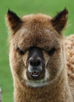 alpaca images - Google Search
