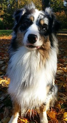 Jayzi, chien Berger australien