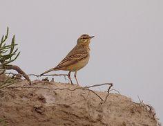Duinpieper, onopvallende vogel van 'woeste' zandgronden.