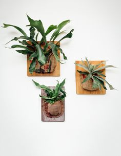 Staghorn Ferns get their name from the large, bifurcated, antler-like fronds that shoot out dramatically from the center of the plant. As epiphytes that grow naturally in the crooks of tree trunks, th