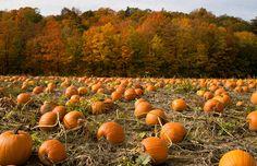 Pumpkin field & trees in autumn color, near Toronto, Ontario, Canada (© Zoran Milich/Getty Images)