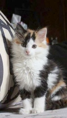 I love calico cats 💕 Want more cute kittens? Click the photo for more! - - - I love calico cats 💕 Want more cute kittens? Click the photo for more! I love calico cats 💕 Want more cute kittens? Click the photo for more! Pretty Cats, Beautiful Cats, Animals Beautiful, Pretty Kitty, I Love Cats, Crazy Cats, Cool Cats, Cute Kittens, Kittens Playing