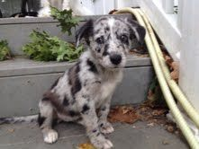 Sterling is an adoptable Australian Shepherd Dog in Cincinnati, OH. One of6 adorable puppies born to our beautiful momma Annie. She and her puppies came to us when they were about 4 weeks old. Momm...