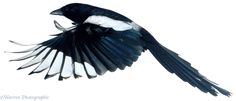 00442-Magpie-in-flight-white-background.jpg (1920×823)