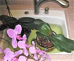 Akár 20 virág egyszerre egy orchideán! Van egy speciális fürdő recepet! - Segithetek.blog.hu Garden Plants, Indoor Plants, Bonsai, Beautiful Flowers, Orchids, Landscape, Floral, Nature, Diy