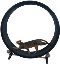 One Fast Cat Cat Wheel #cats