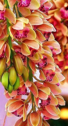 Cimbidium Orchids....