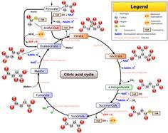 Kerbs cycle