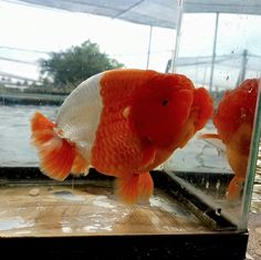 A really exceptional exotic and beautiful Goldfish. Oranda Goldfish, Goldfish Aquarium, Goldfish Pond, Goldfish Types, Betta Fish Types, Golden Fish, Cool Fish, Freshwater Aquarium Fish, Pet Fish